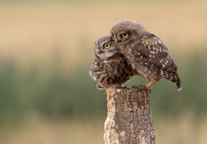 Parent and baby owl sit on a stump
